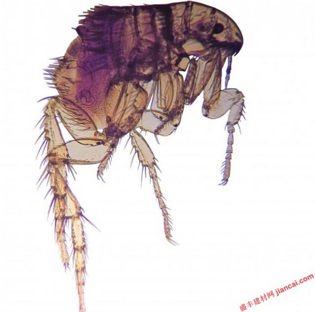 跳蚤卵可以在任何地方,尤其是如果家里有宠物。在床上的跳蚤特别烦,因为跳蚤咬吸在床上的任何人或宠物的血。为了摆脱他们,有几个策略,需要采用,包括彻底的清洁,宠物检疫和消灭害虫的方法。   所有受影响地区的床上用品必须用热肥皂水。这杀死所有的跳蚤,它们的卵,它们的幼虫。包括床垫保护罩,就像使用那些臭虫,不会阻止跳蚤进入床或让他们咬。跳蚤通常留在地毯,通常不会寻找床垫产卵。   宠物所携带跳蚤需要被隔离并接受治疗。这可以在家里或兽医可以采取动物的照顾。重要的是要专门设计用于动物处理,以防止严重的或致命的中毒。宠